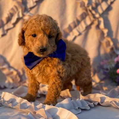 Atom - Miniature Poodle doggie for sale at Rising Sun, Maryland