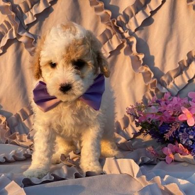 Cassie - Miniature Poodle pupper for sale near Rising Sun, Maryland