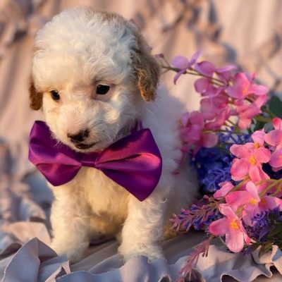 Minnie - female Miniature Poodle puppie for sale in Rising Sun, Maryland