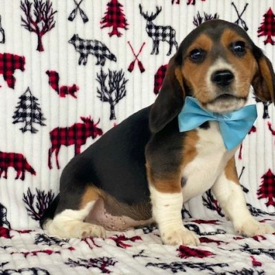 Snoopy - Beagle male puppie for sale near Pennsylvania