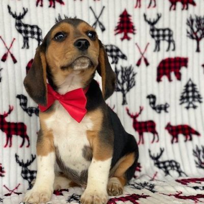 Puddles - Beagle male puppy for sale in Pennsylvania