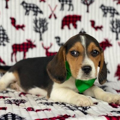 Gizmo - male Beagle doggie for sale near Pennsylvania