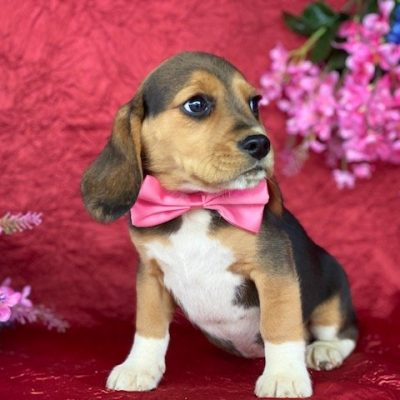 Giggles - Beagle female doggie for sale at Pennsylvania