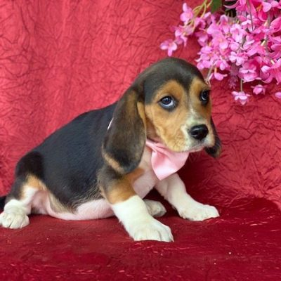 Daisy - Beagle female pupper for sale in Pennsylvania