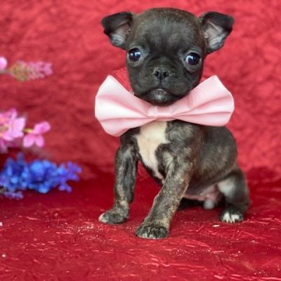 Apple - male Boston Terrier pup for sale near Pennsylvania