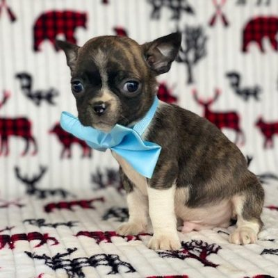 Monty - puppy Boston Terrier for sale at Pennsylvania