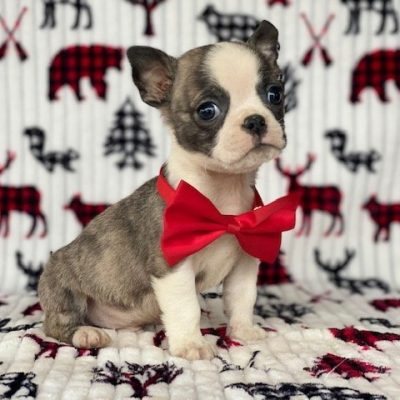 Bunker - Boston Terrier doggie for sale at Pennsylvania