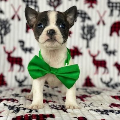 Buckley - Boston Terrier puppie for sale in Pennsylvania