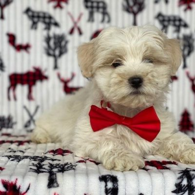 Toby - Morkie puppie for sale at New Holland, Pennsylvania