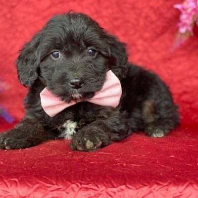 Gladys - Aussie doodle puppie for sale at New Holland, Pennsylvania