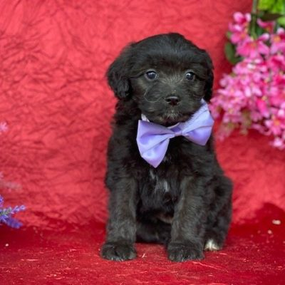 Milly - Aussie doodle female pupper for sale in New Holland, Pennsylvania