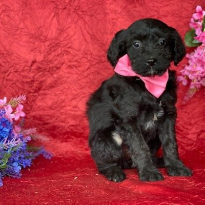 Sophia - Aussie doodle female pup for sale near New Holland, Pennsylvania