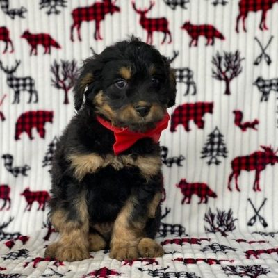 Zeke - puppy Aussie doodle male for sale at New Holland, Pennsylvania