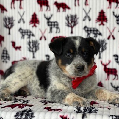 Elmo - Australian cattle dog/ blue heeler male pup for sale in New Holland, Pennsylvania