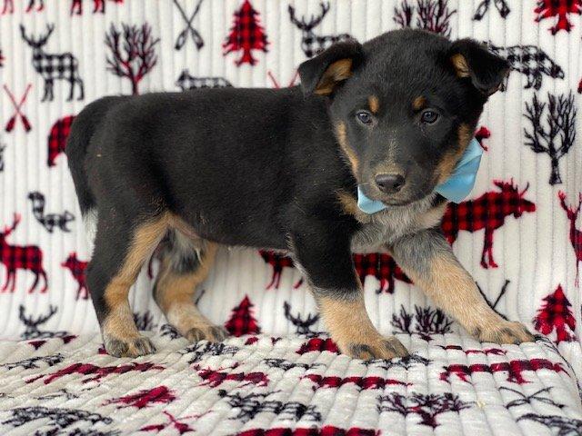 Buzz - Australian cattle dog/ blue heeler male pupper for sale at New Holland, Pennsylvania