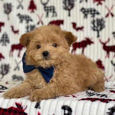 Redford - Toy Eskipoo male pupper for sale in Gordonville, Pennsylvania