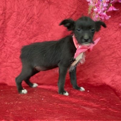 Dusk - Yorkie/rat terrier mix doggie for sale at Delta, Pennsylvania