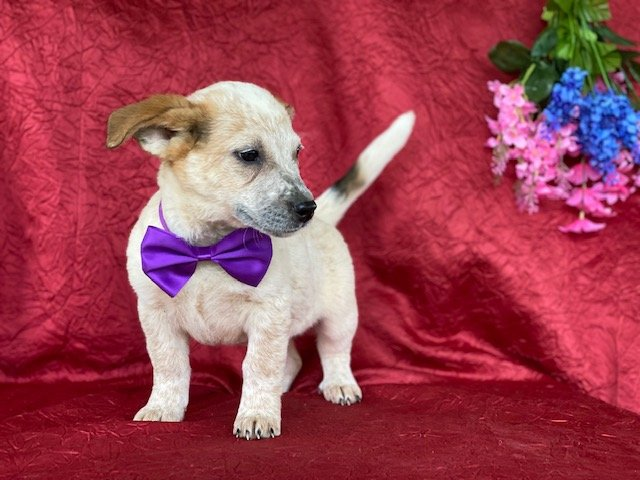 Bliss - Australian cattle dog for sale in Delta, Pennsylvania