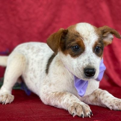 Sprinkles - Australian cattle dog male for sale near Delta, Pennsylvania