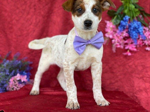 Sprinkles - Australian cattle dog male for sale near Delta, Pennsylvania