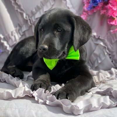 Cole - Labradoodle male puppie for sale in Pennsylvania