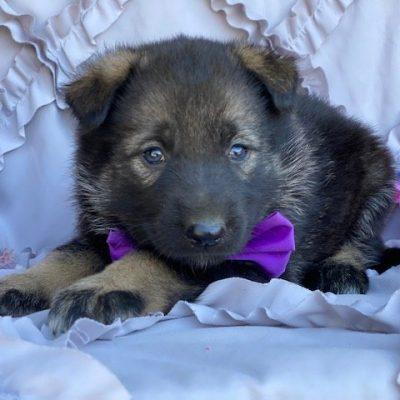 Violet - female German Shepherd Mix pupper for sale near Paradise, Pennsylvania
