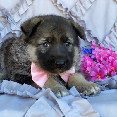 Nelly - German Shepherd Mix female doggie for sale at Paradise, Pennsylvania