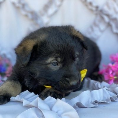 Troy - German Shepherd Mix male puppie for sale at Paradise, Pennsylvania