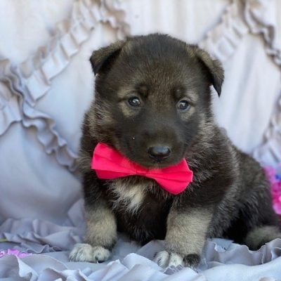 Winnie - doggie German Shepherd Mix male for sale near Paradise, Pennsylvania