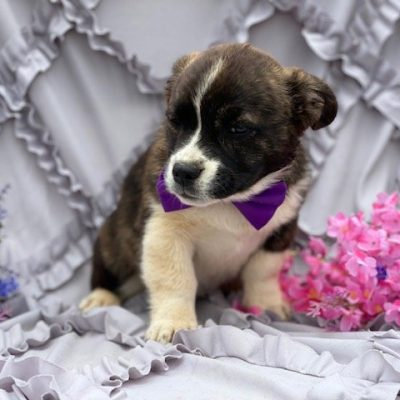Scarlett - Corgi female pupper for sale at Willow Street, Pennsylvania