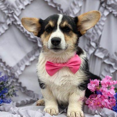 Cora - Corgi puppy for sale near Willow Street, Pennsylvania