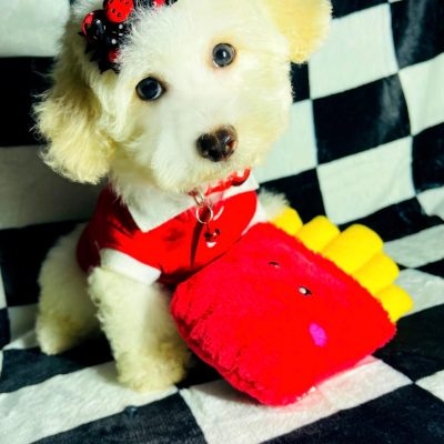 BuggyBear - Maltipoo puppie male for sale in Hudson, Texas