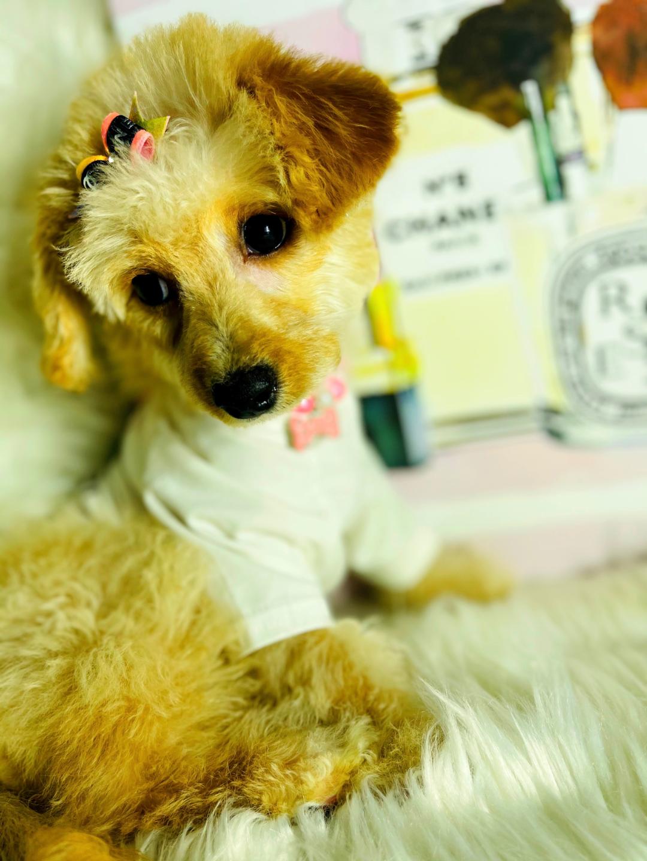 LadyChanel - puppy Maltipoo female for sale near Hudson, Texas