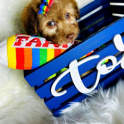 SmartyBear - Maltipoo male puppy for sale in Hudson, Texas