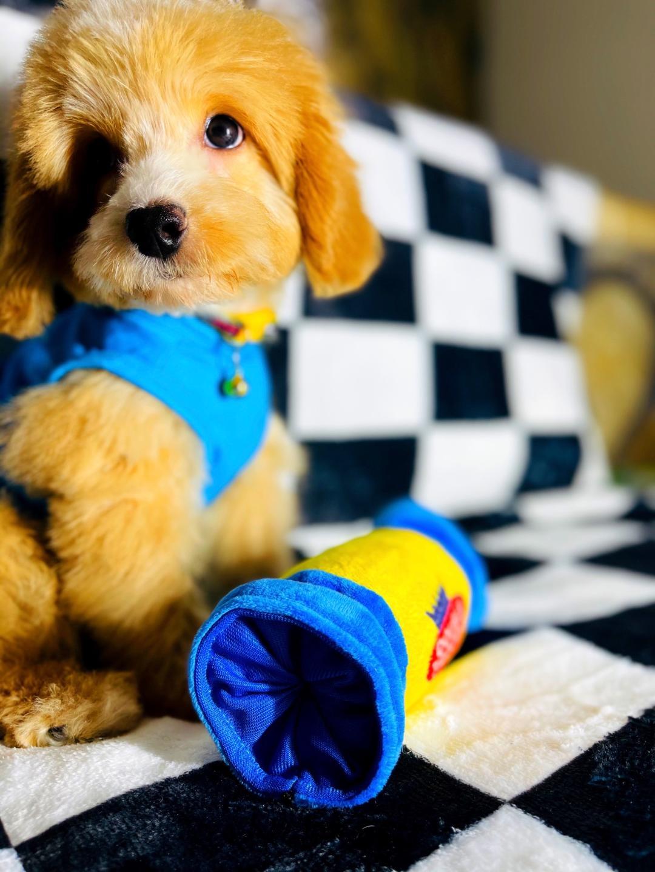 ToyBear - Maltipoo doggie male for sale at Hudson, Texas
