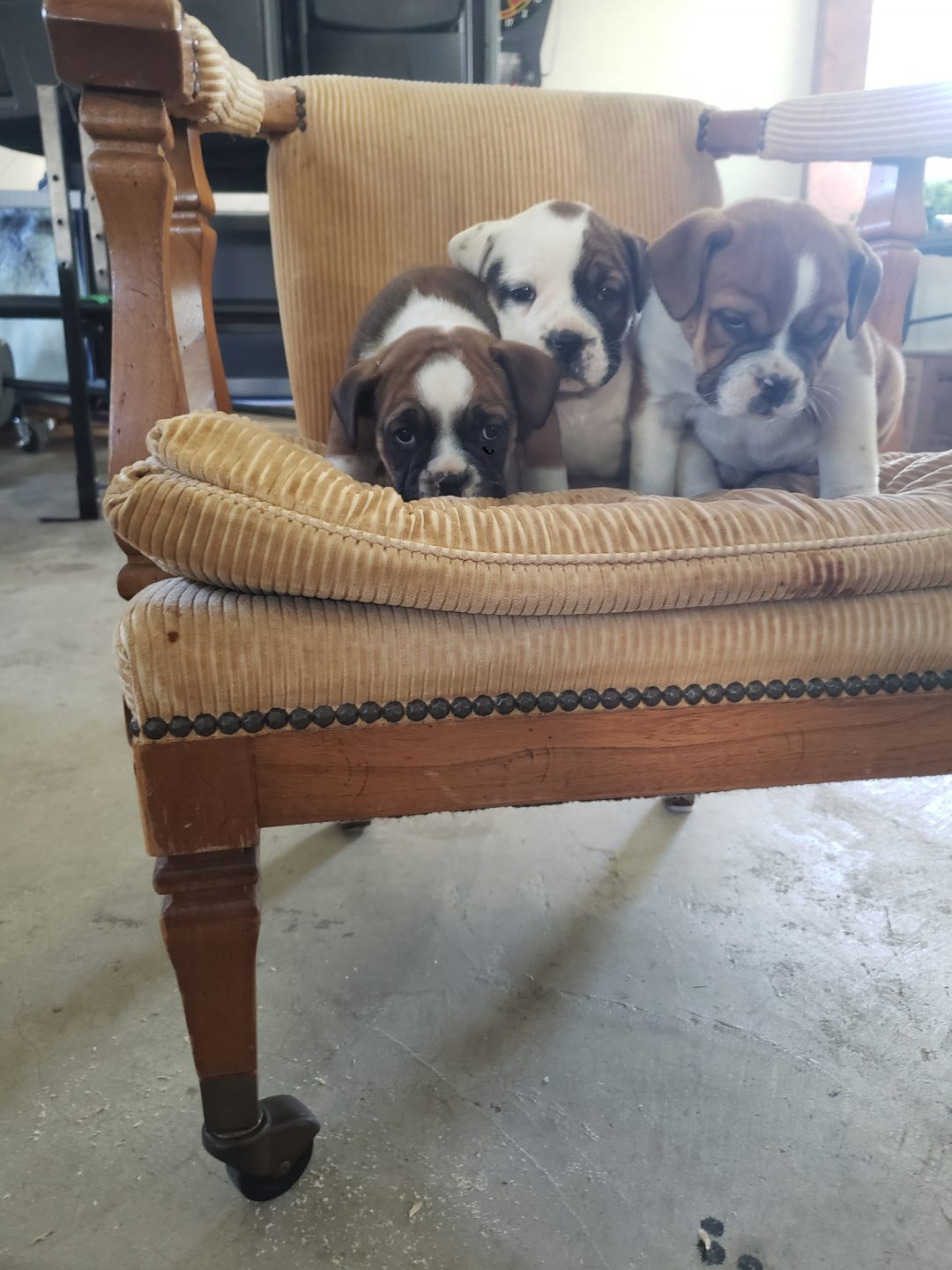 REX - male English Bulldog pup for sale in Nappanee, Indiana