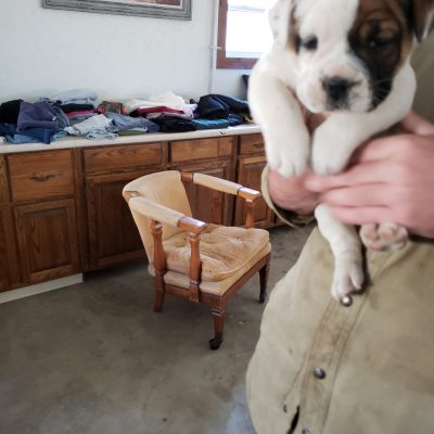 Griz - English Bulldog male puppy for sale near Nappanee, Indiana