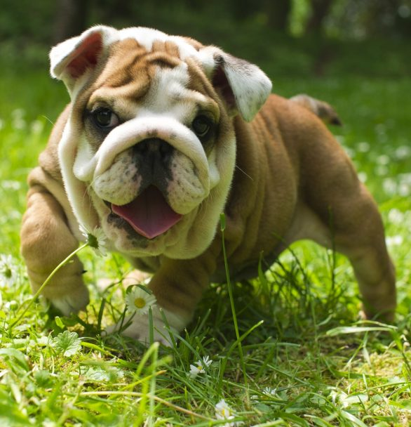 Bulldog: What to Know Before Bringing One Home