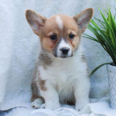 AJ - ACA Pembroke Welsh Corgi puppy for sale at East Earl, Pennsylvania