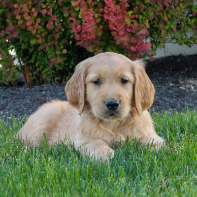 Aaron - ACA Golden Retriever male pupper for sale at Gordonville, Pennsylvania