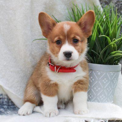 Abby - ACA Pembroke Welsh Corgi pup for sale near East Earl, Pennsylvania