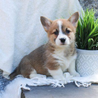 Addie - ACA Pembroke Welsh Corgi puppy for sale near East Earl, Pennsylvania
