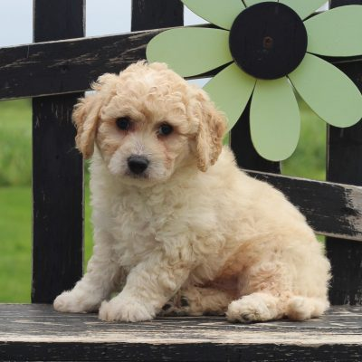 Alex - F1 Bichpoo pupper for sale near Gordonville, Pennsylvania