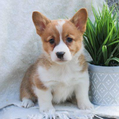 Alice - ACA Pembroke Welsh Corgi female doggie for sale at East Earl, Pennsylvania