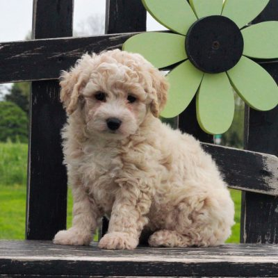 Ally - F1 Bichpoo puppie for sale at Gordonville, Pennsylvania
