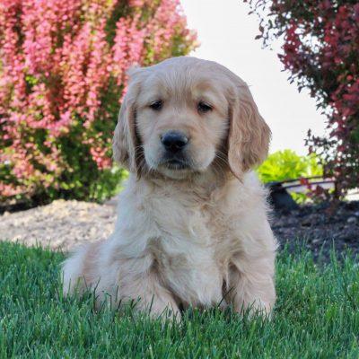 Archer - pup ACA Golden Retriever male for sale in Gordonville, Pennsylvania
