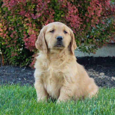 Arlo - ACA Golden Retriever male puppy for sale near Gordonville, Pennsylvania