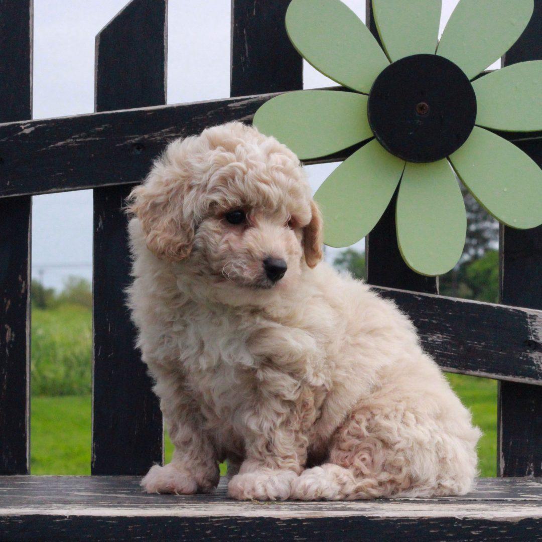 Arlo - F1 Bichpoo male puppy for sale in Gordonville, Pennsylvania