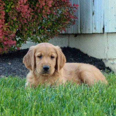 Axel - ACA Golden Retriever male doggie for sale at Gordonville, Pennsylvania