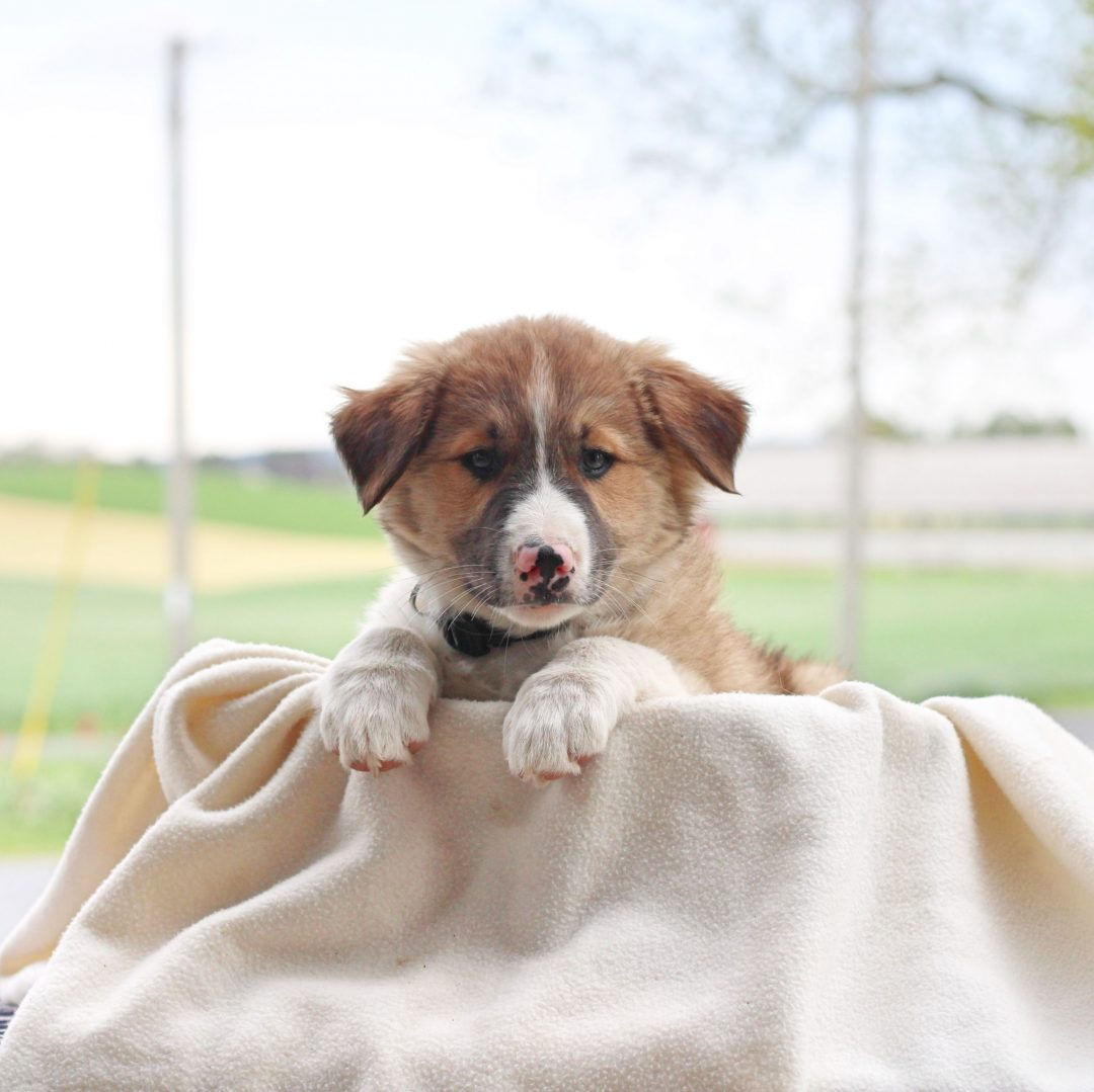Blaze - Border Collie Mix puppie for sale at Chambersburg, Pennsylvania